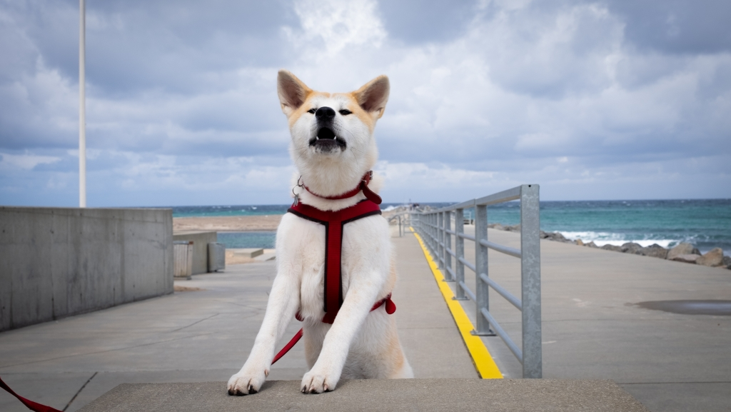This is a japanese breed called Akita Inu. Cute!